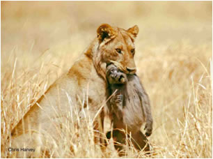 Lion with baboon